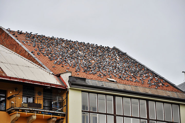 A2B Pest Control are able to install spikes to deter birds from roofs in Queens Park.